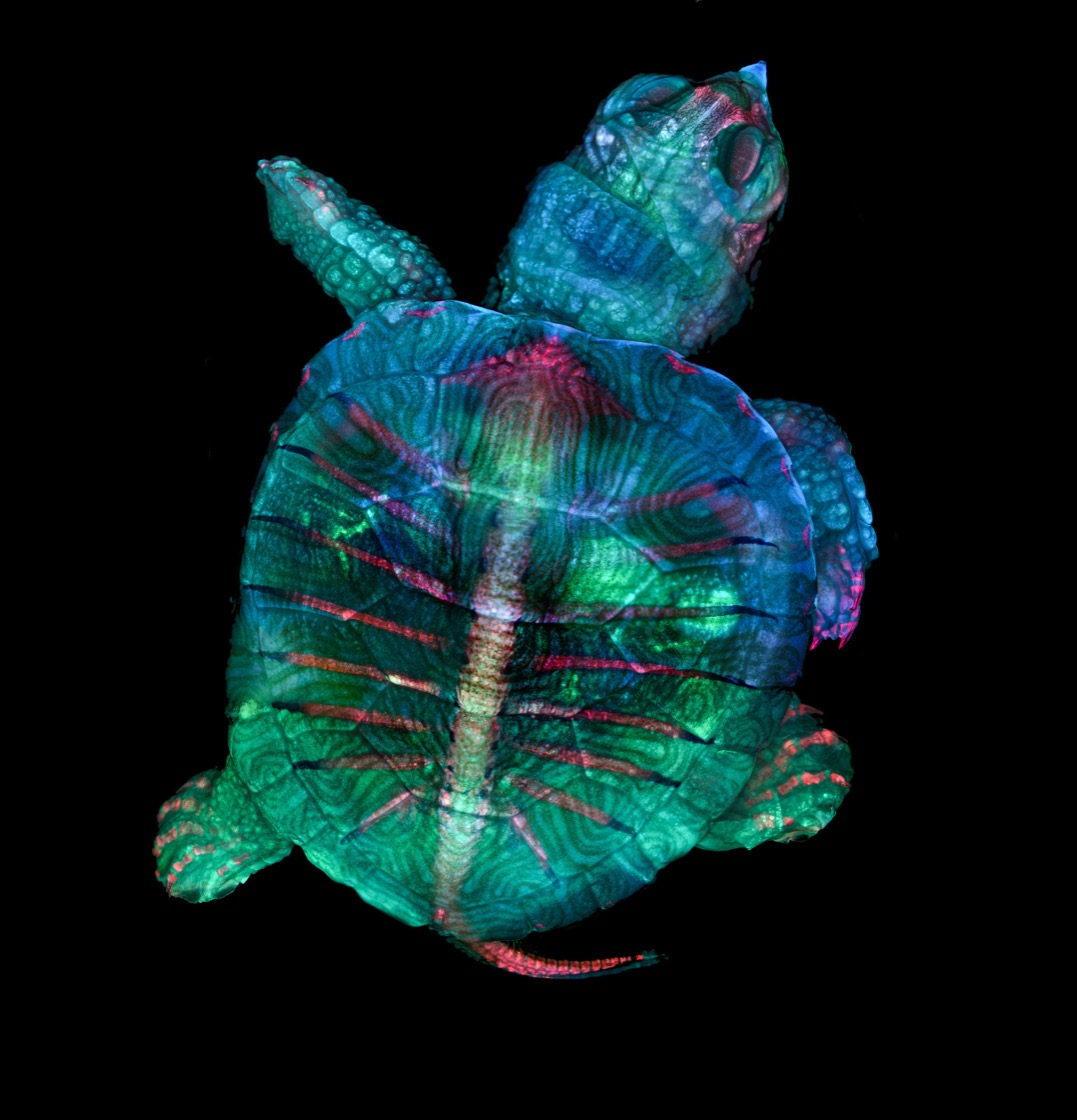 A colorful image from a light microscope: A fluorescent turtle embryo